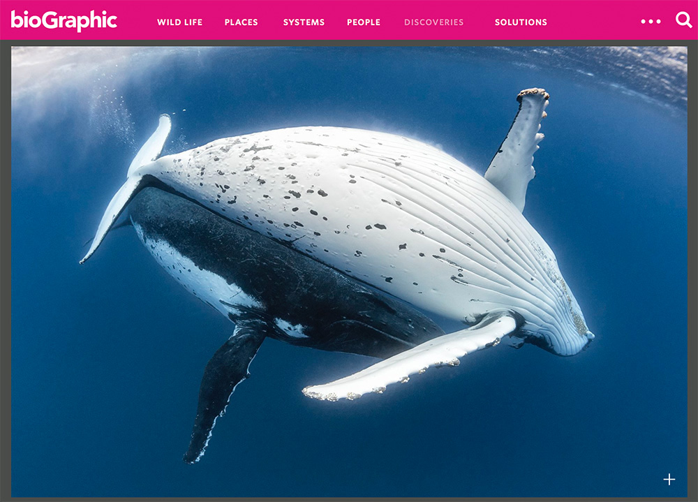 Humpback whale courtship, click the image to see article on Biographic.com