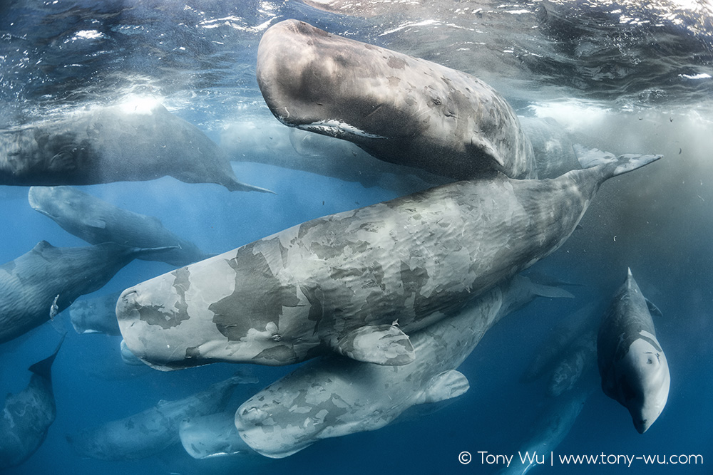 Giant Gathering of sperm whales, limited edition fine art prints now available