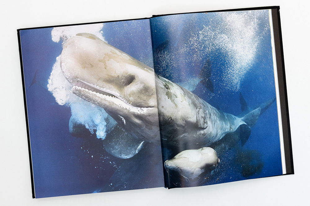 Sperm whales in a cluster, pages 300-301