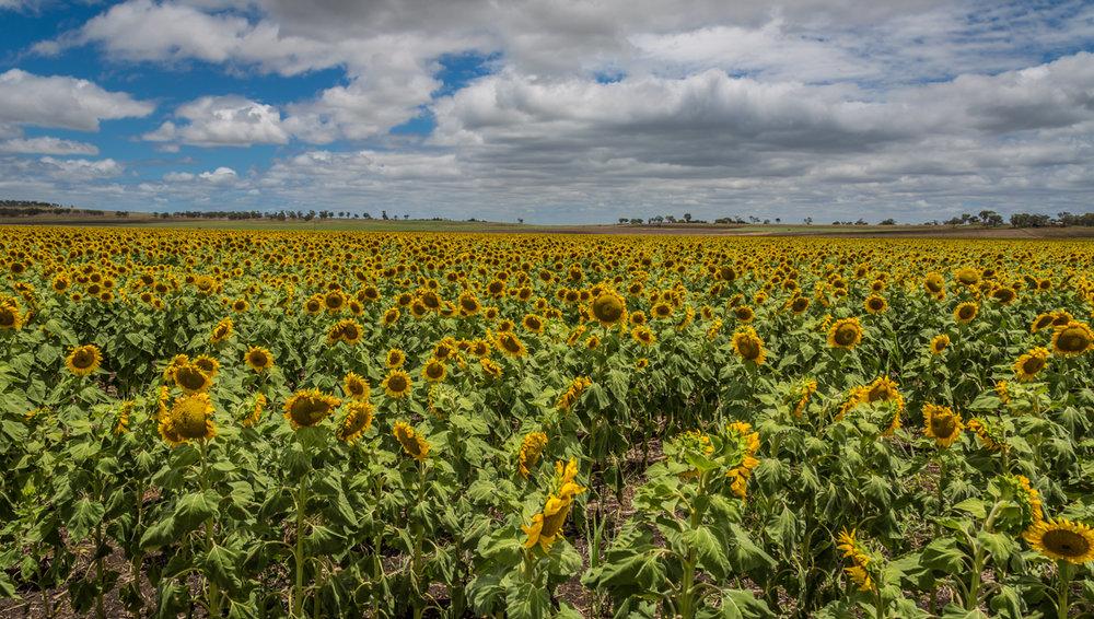 sunflowers-0037.jpg