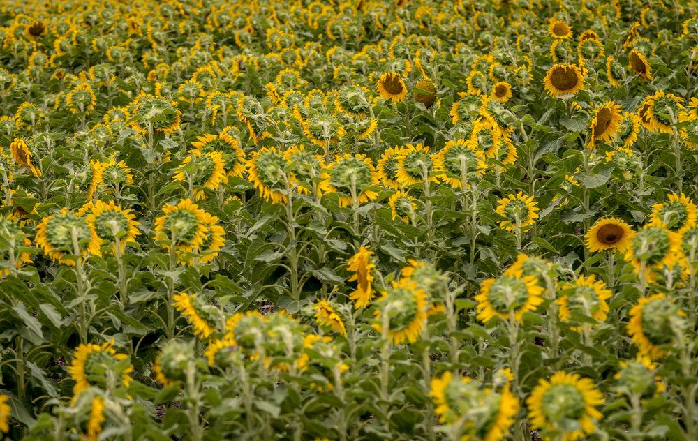 sunflowers-0111.jpg