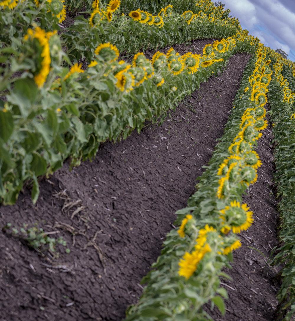 sunflowers-0116.jpg