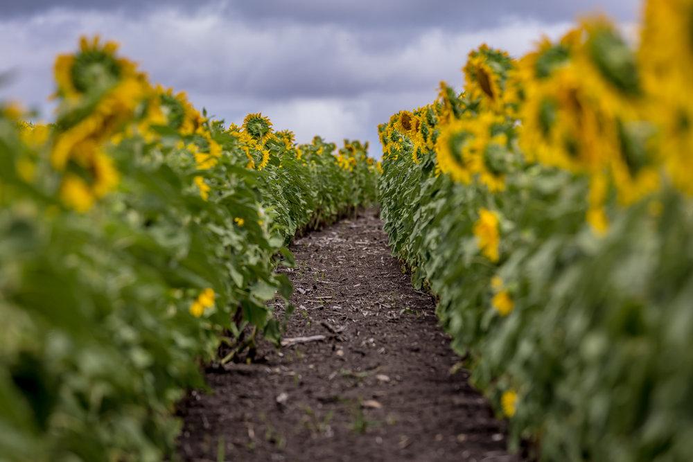 sunflowers-0120.jpg