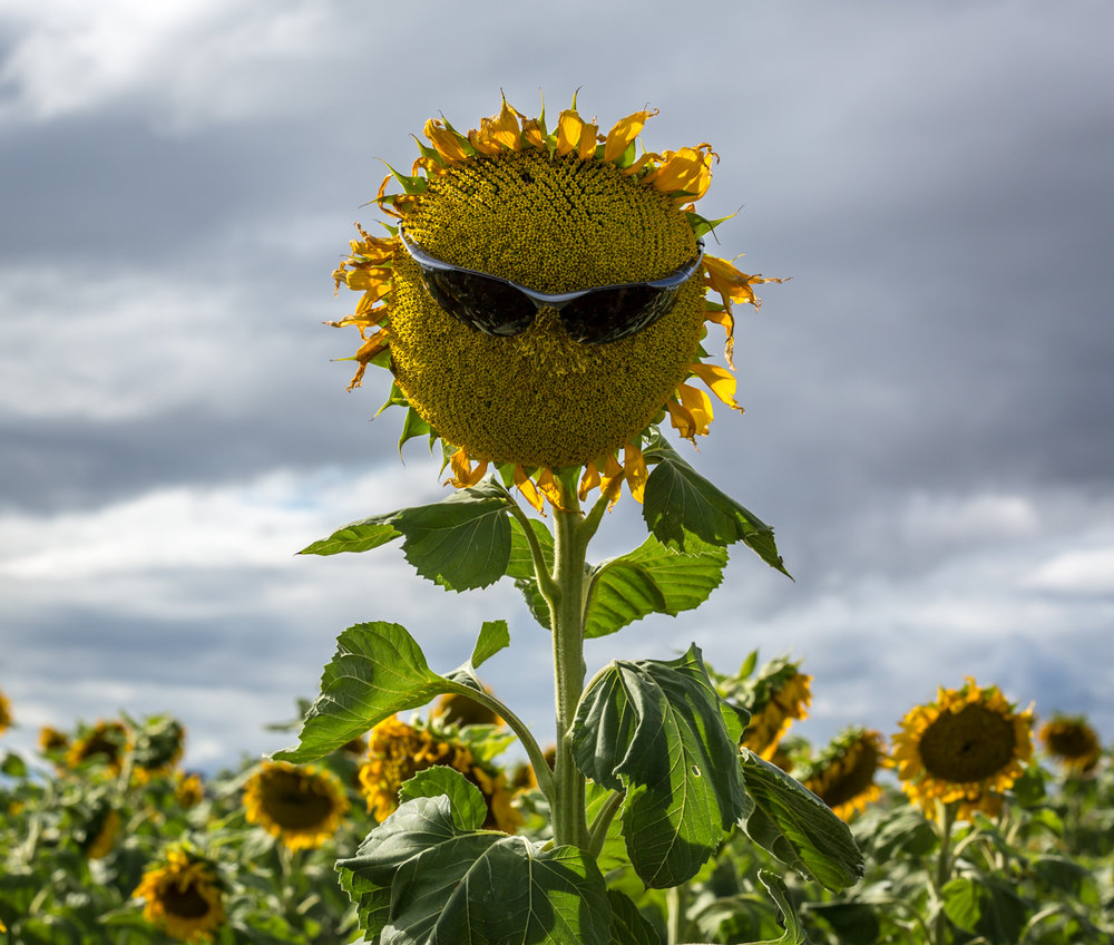 sunflowers-0189.jpg