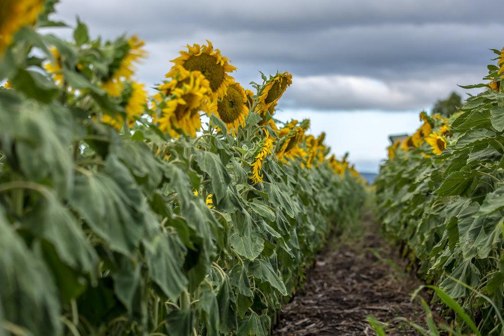 sunflowers-0241.jpg