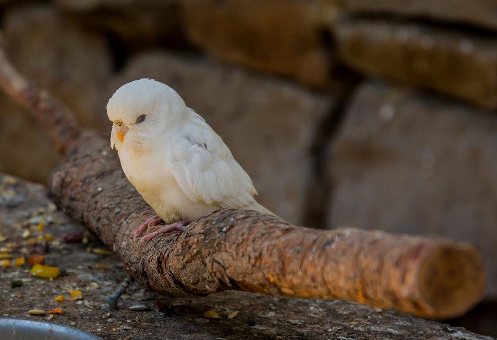 Maleny birds0080.jpg