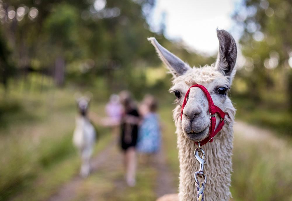 Llama walk-0060.jpg