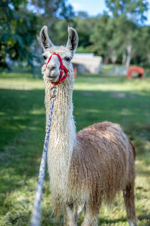 Llama walk-0053.jpg