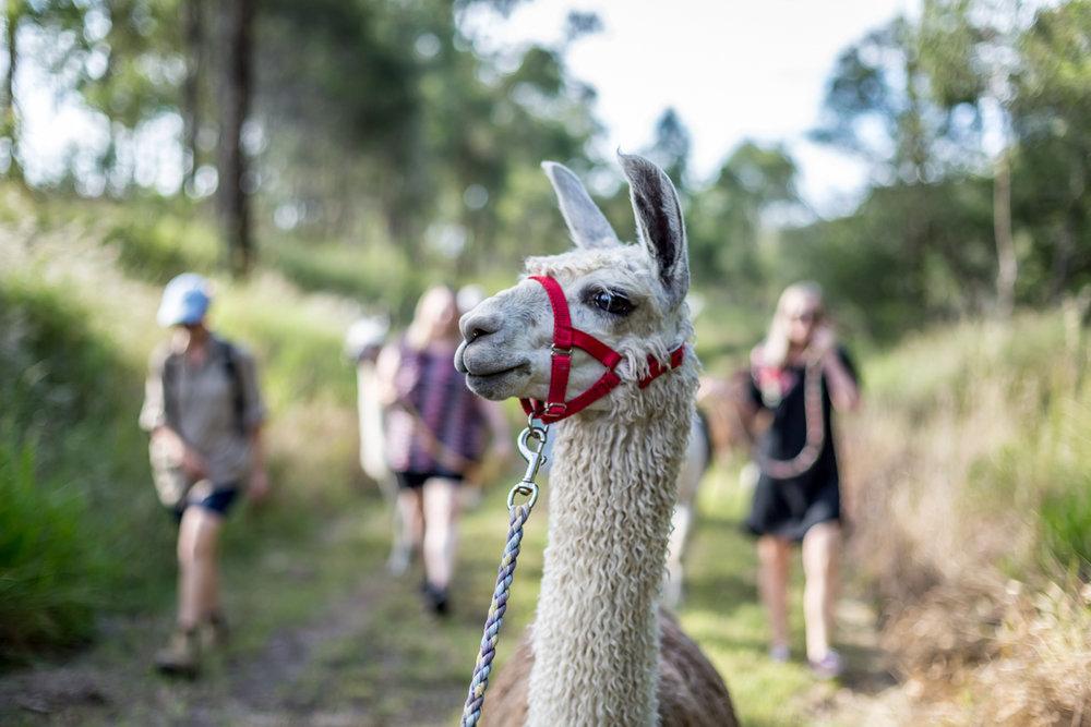 Llama walk-0056.jpg