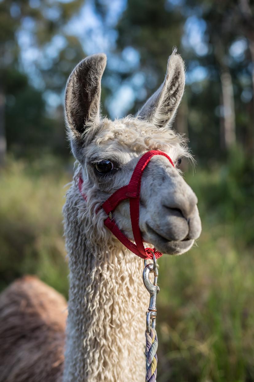 Llama walk-0112.jpg