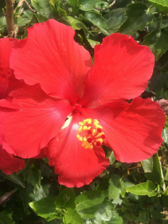 Hibiscus Smaller.JPG