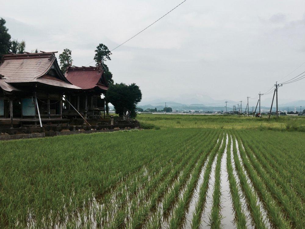 A rice field in Kikuchi, Kumamoto