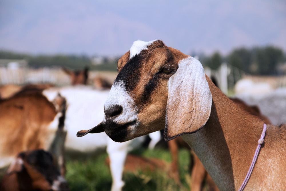 goat_pasture_3.jpg