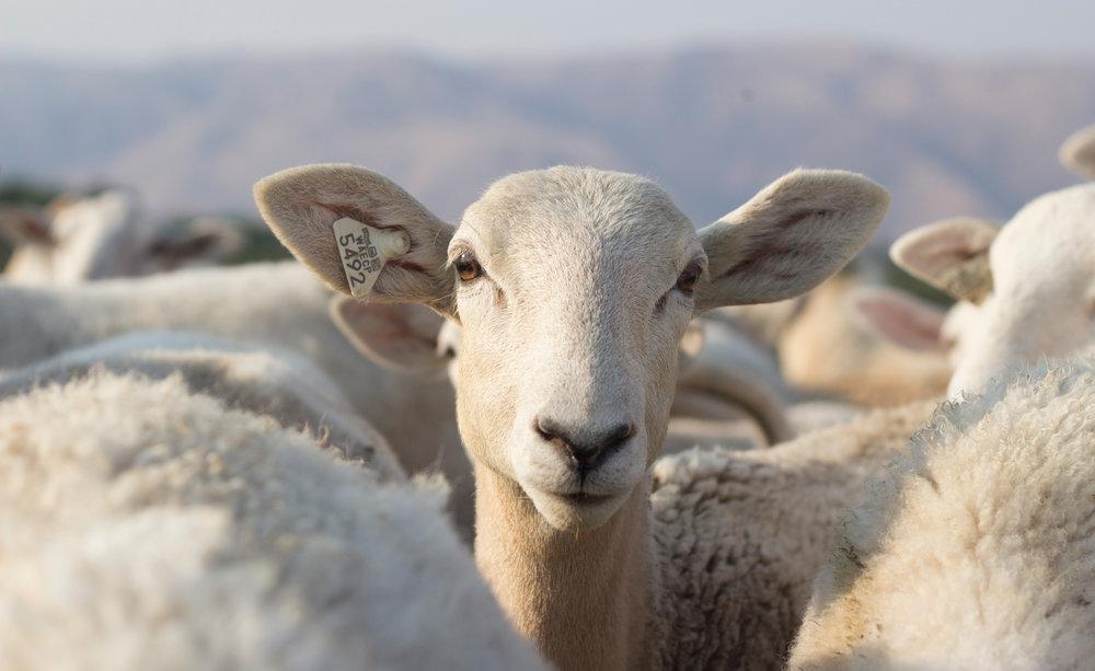 sheep_pasture_13.jpg