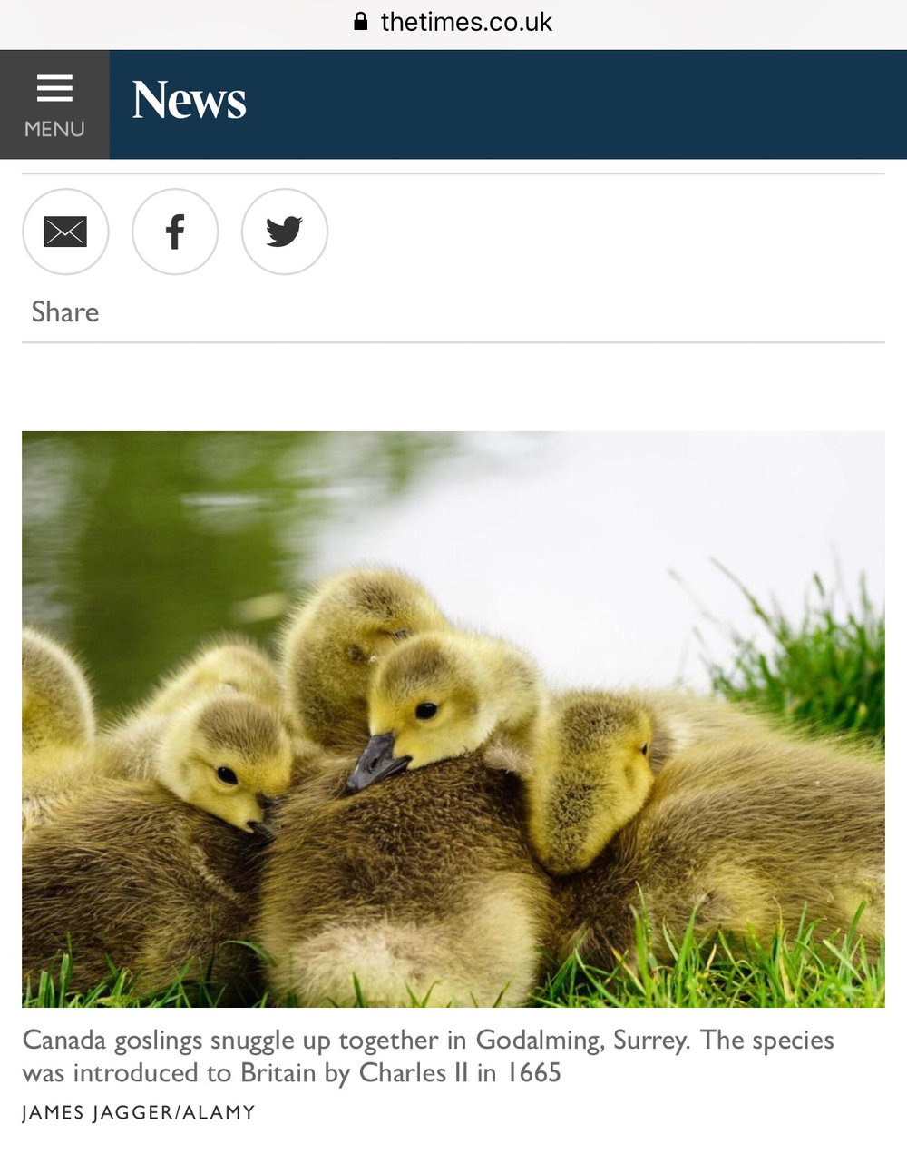 canada goslings in Godalming Surrey