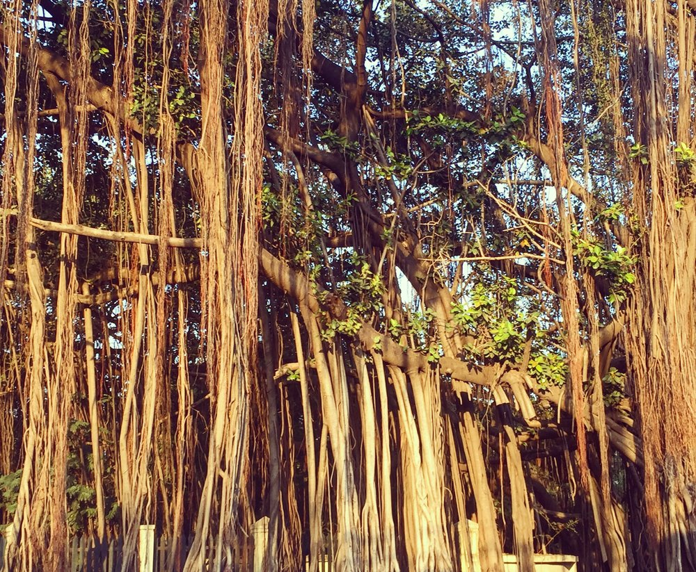 And the incredible Banyan Tree, it grows horizontally creating new roots …