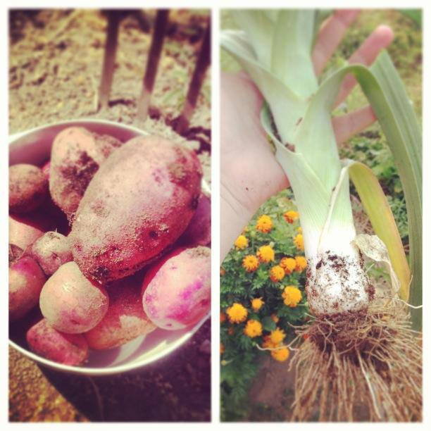 Red potatoes and leeks from the garden for our potato salad recipe
