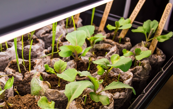DIY Grow Light for Seedlings-Cabbage and onion seedlings happily basking under the glow of our DIY grow light