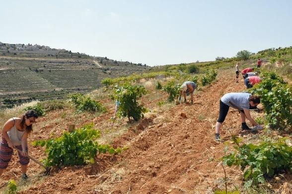 Volunteers planting olive trees on the Nassar family farm.  Photo Credit: Friends of Tent of Nations