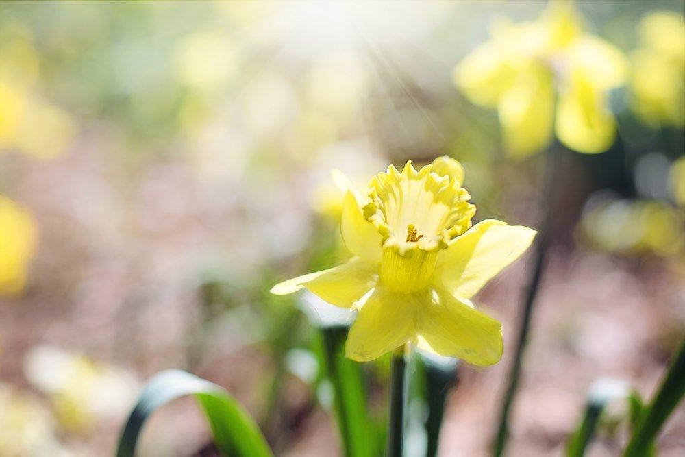 daffodil-1358941_1920.jpg