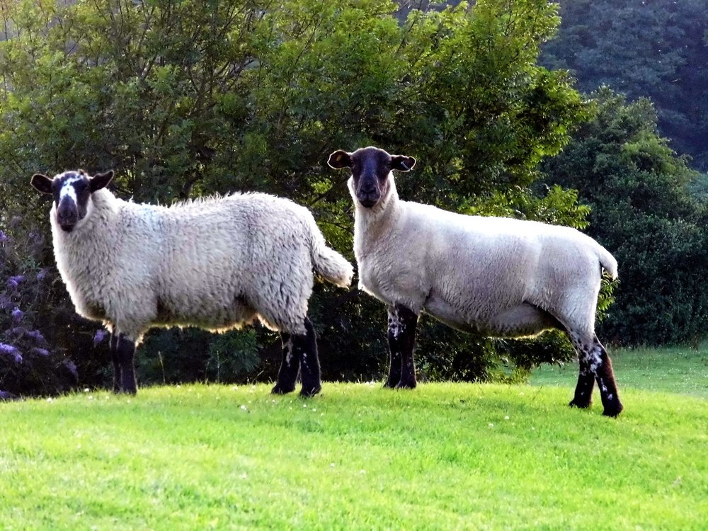 sheep-928733_1920.jpg