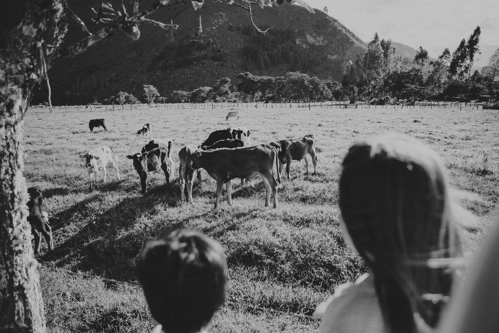 invitados a la boda obsevando las vacas