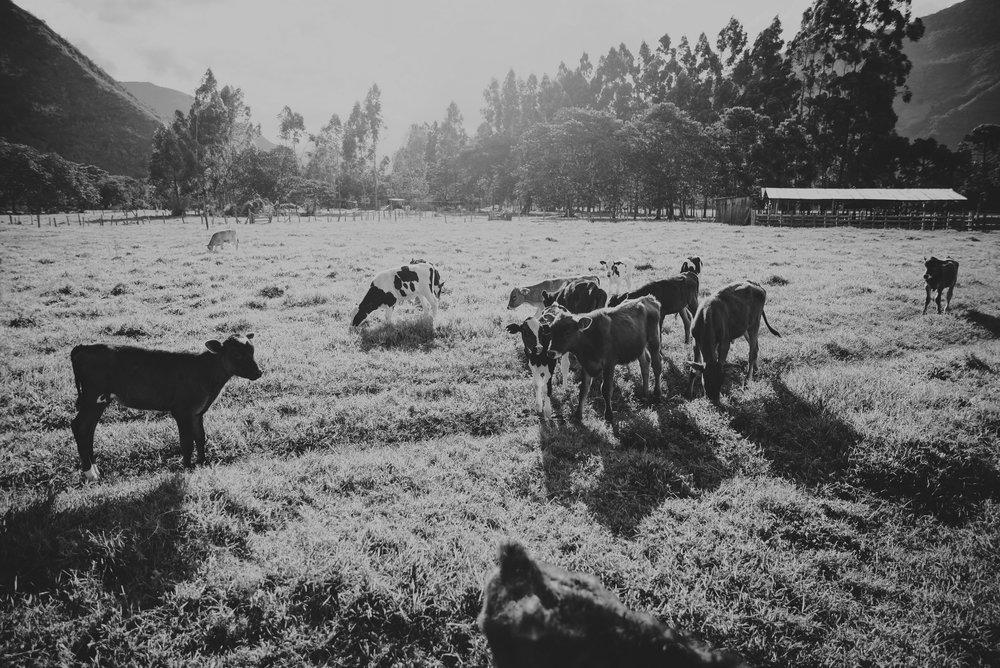 vacas del rancho donde se celebra la boda