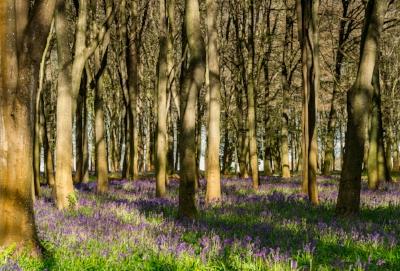 springbluebells-03.jpg