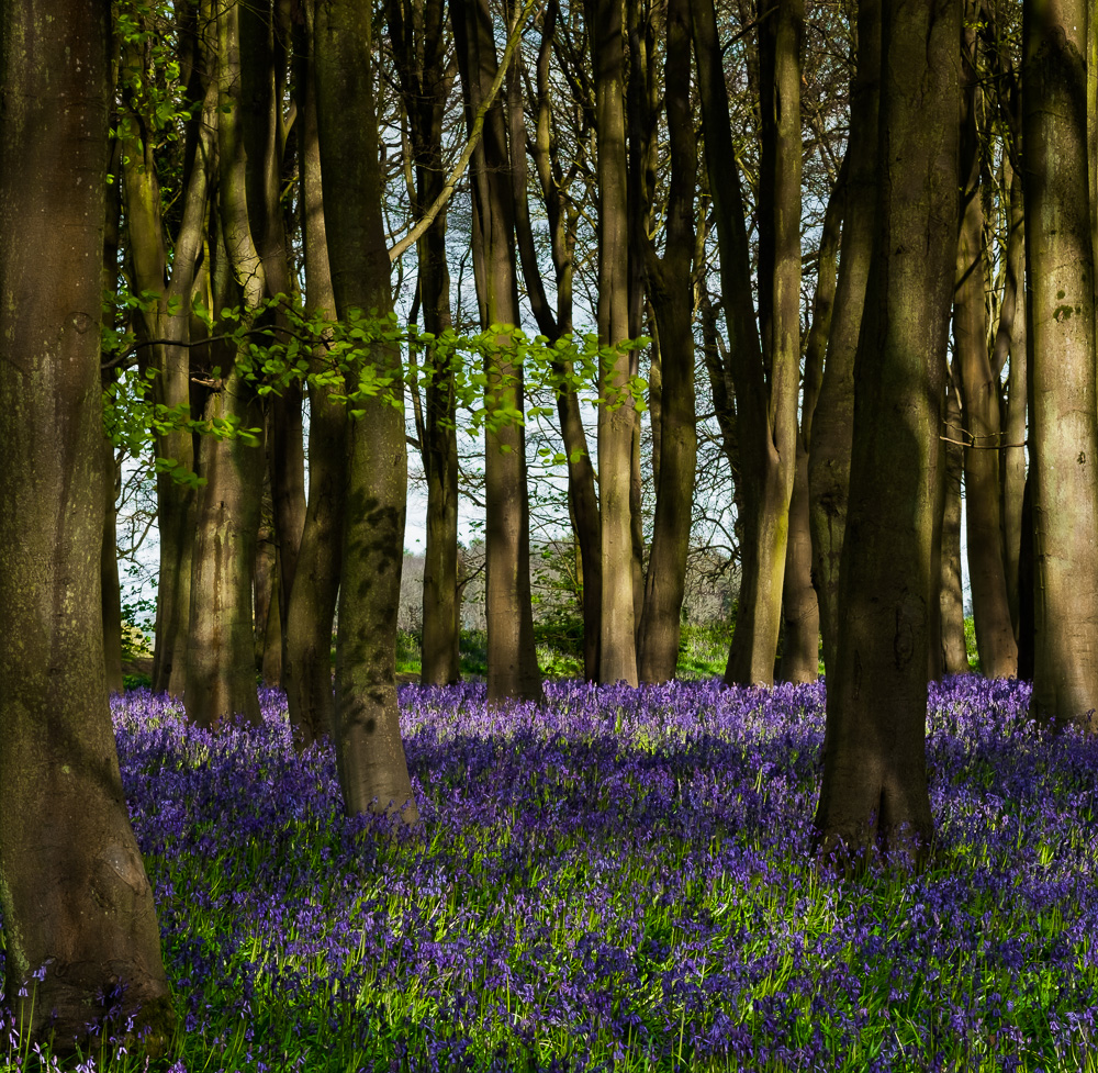 springbluebells-01.jpg