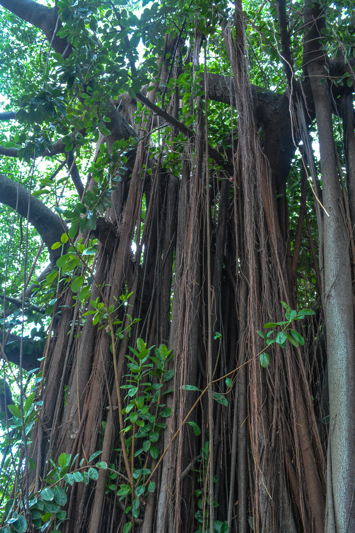Rubber tree at the outdoor garden of the Biomuseo