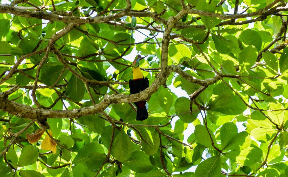 The sassy toucan
