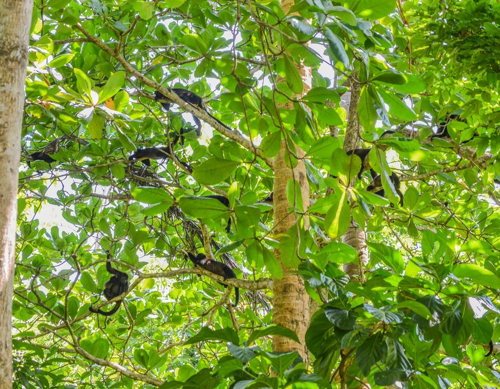 Howler monkeys sleep 18 hours a day...so here they are. Sleeping.