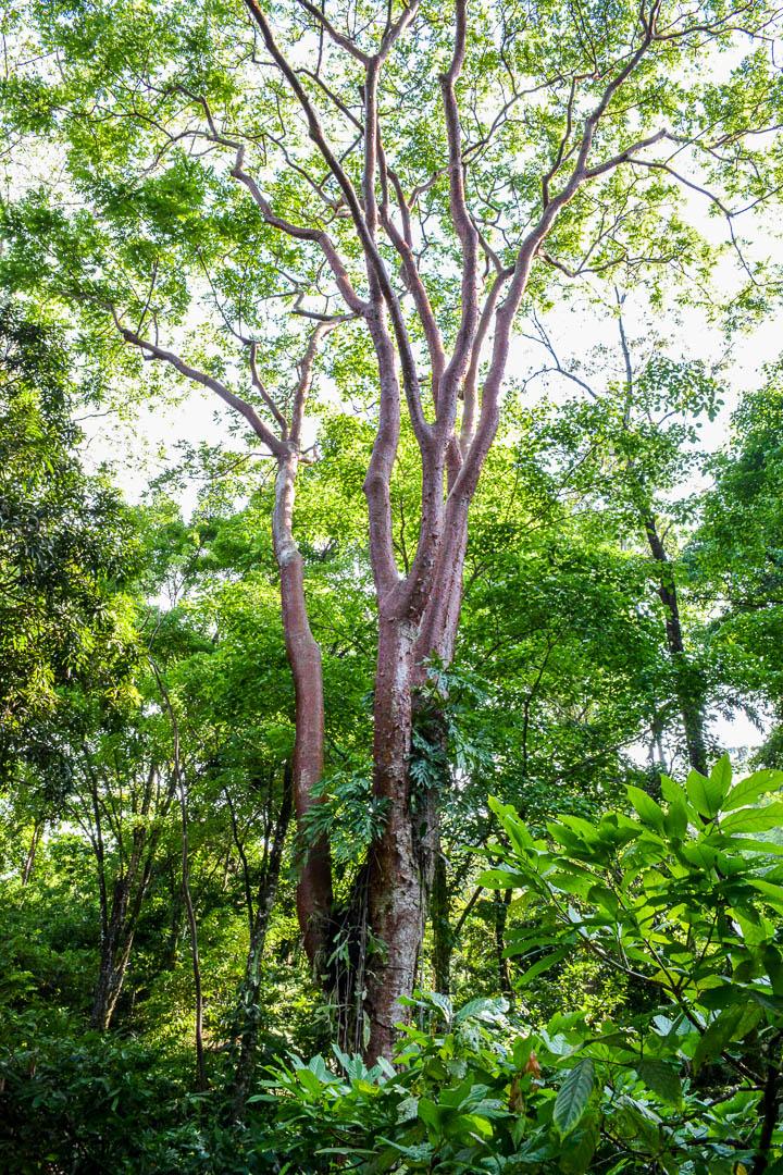 The indio desnudo tree