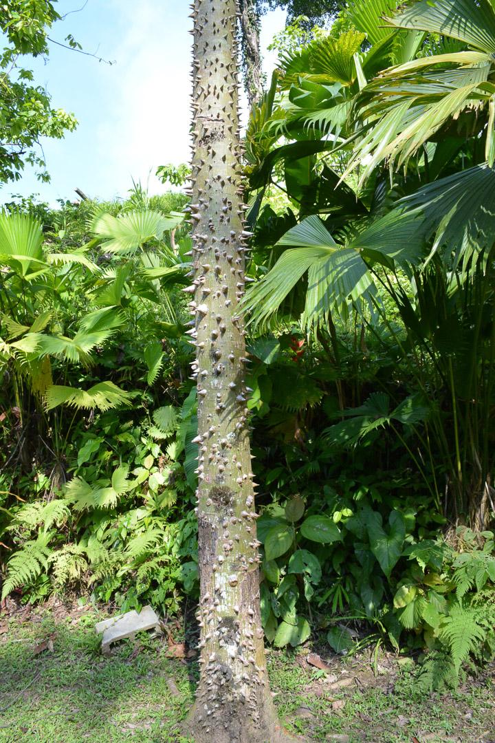 The spiky pochote tree--it's clearly not a fan of tree huggers