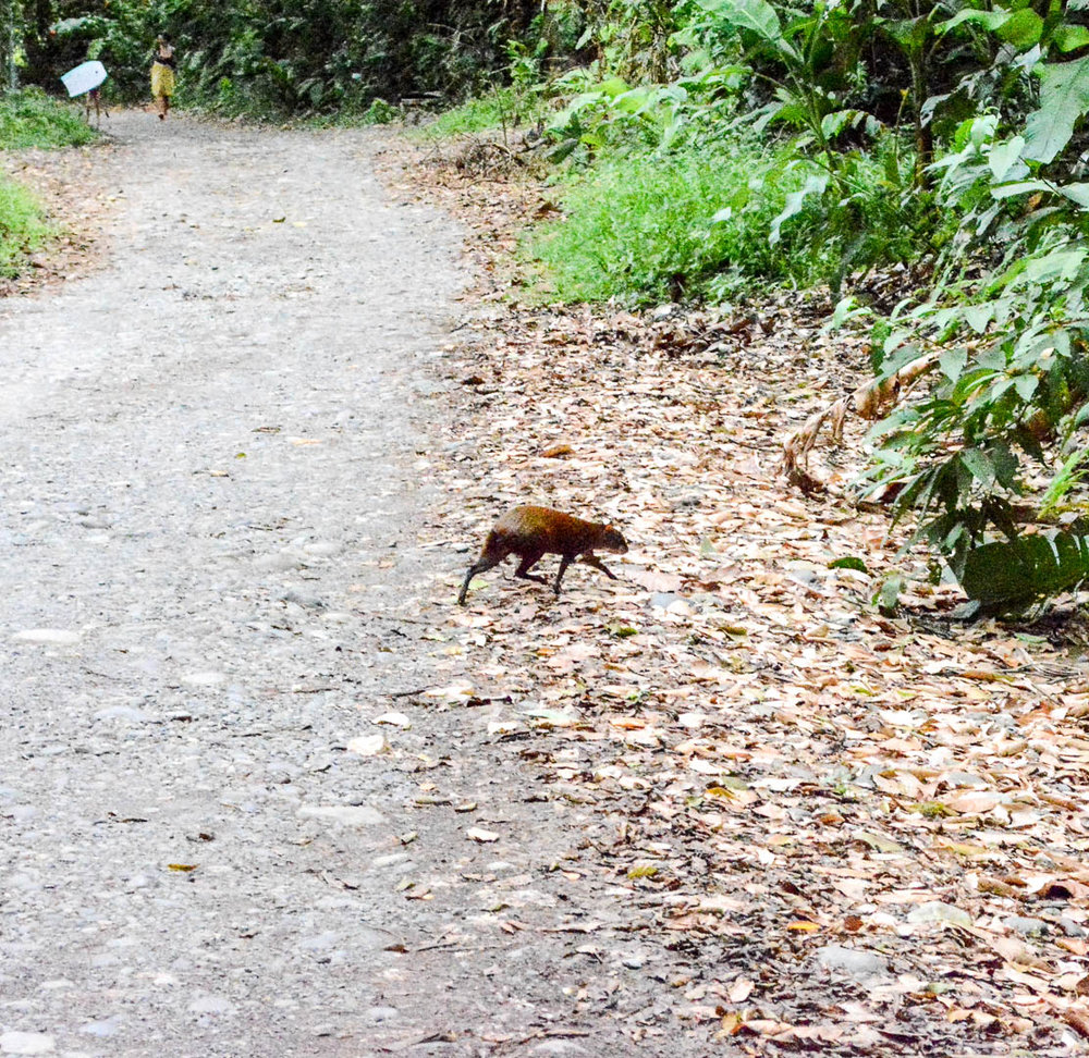 I finally got a picture of an agouti!