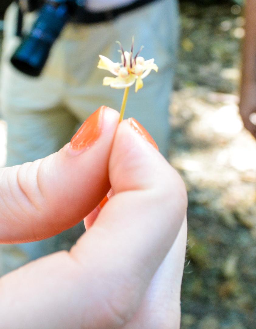 A tiny cacao flower