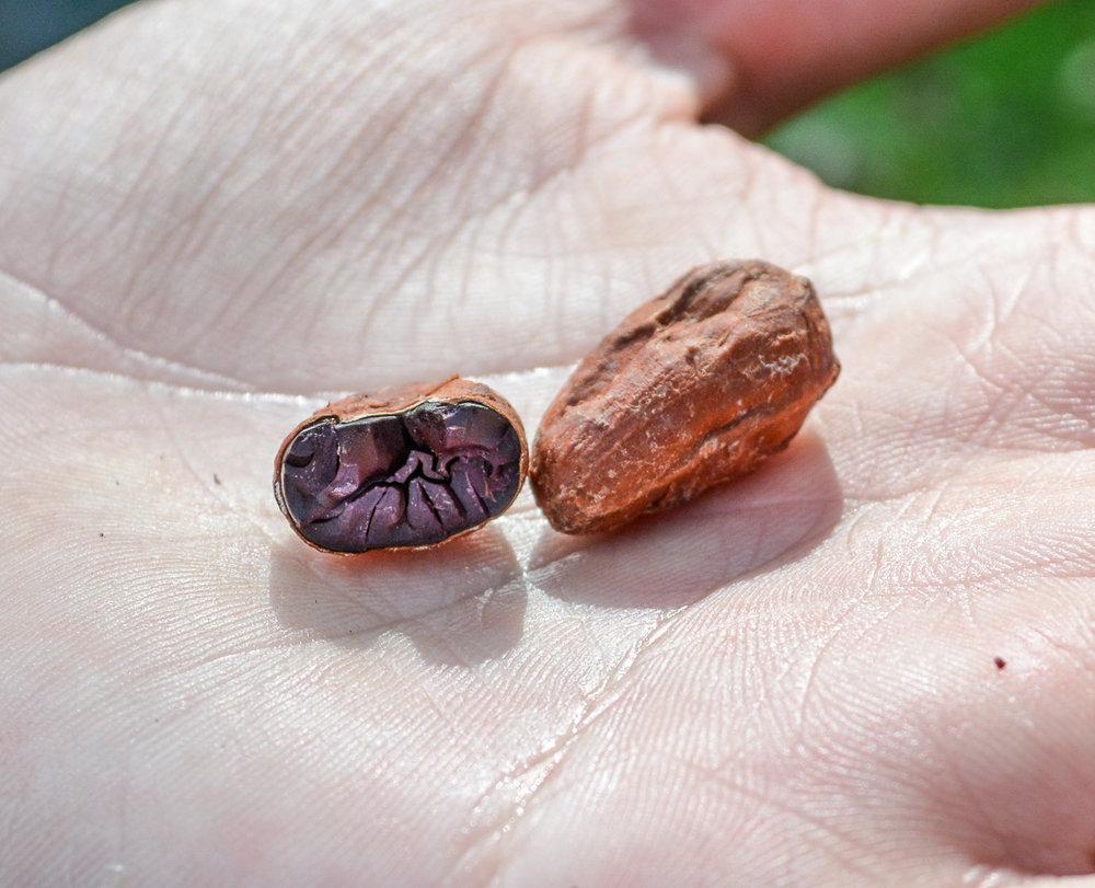 The inside of a sundried bean