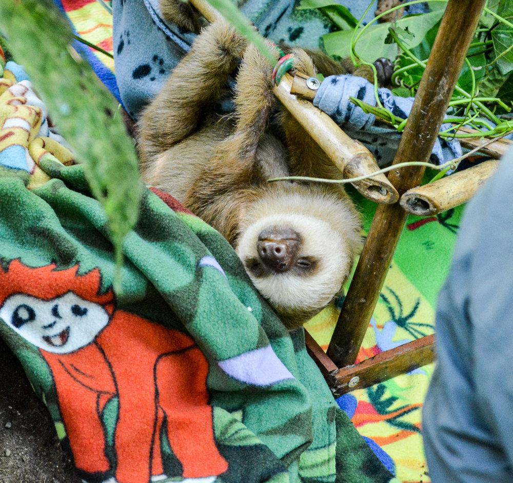 Baby sloth hanging out. You notice his painted nails? That's how they identify the various sloths!