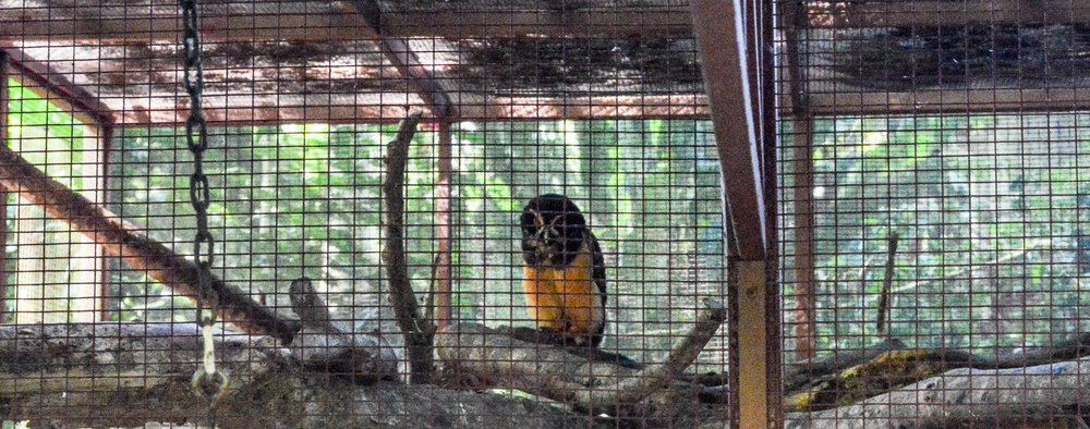 This owl likes to come back every once in a while for the 5-star treatment at the Jaguar Rescue Center