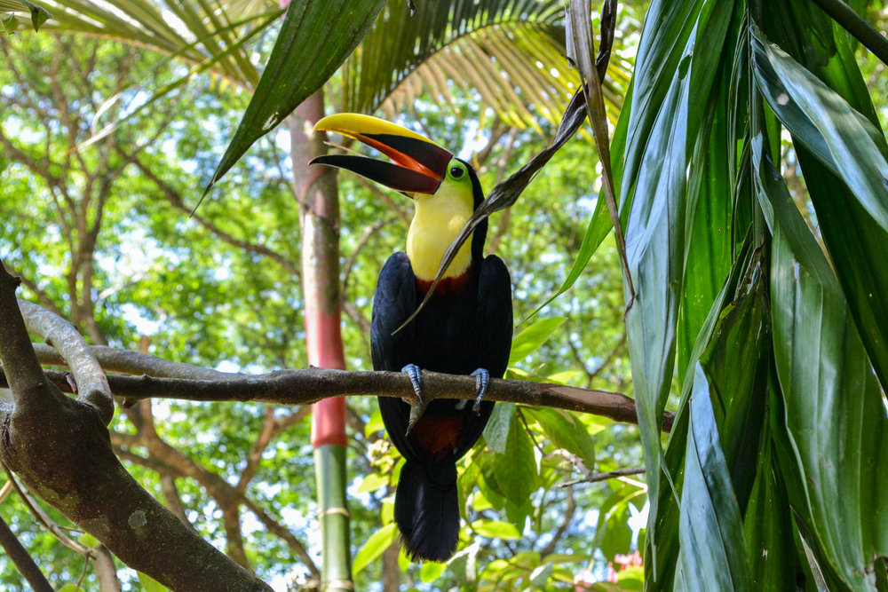 This toucan loves attention. She slowly turned around as if modeling for the camera. Apparently if she doesn't get enough attention she'll fly around you until you notice her.