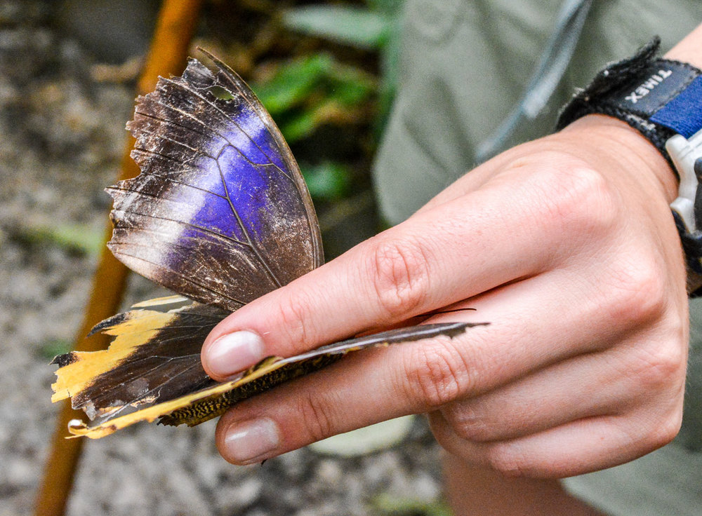 Our tour guide properly holding a butterfly to avoid damaging its wings. This guy is an elderly butterfly which can be seen by the fading color and the distressed wings