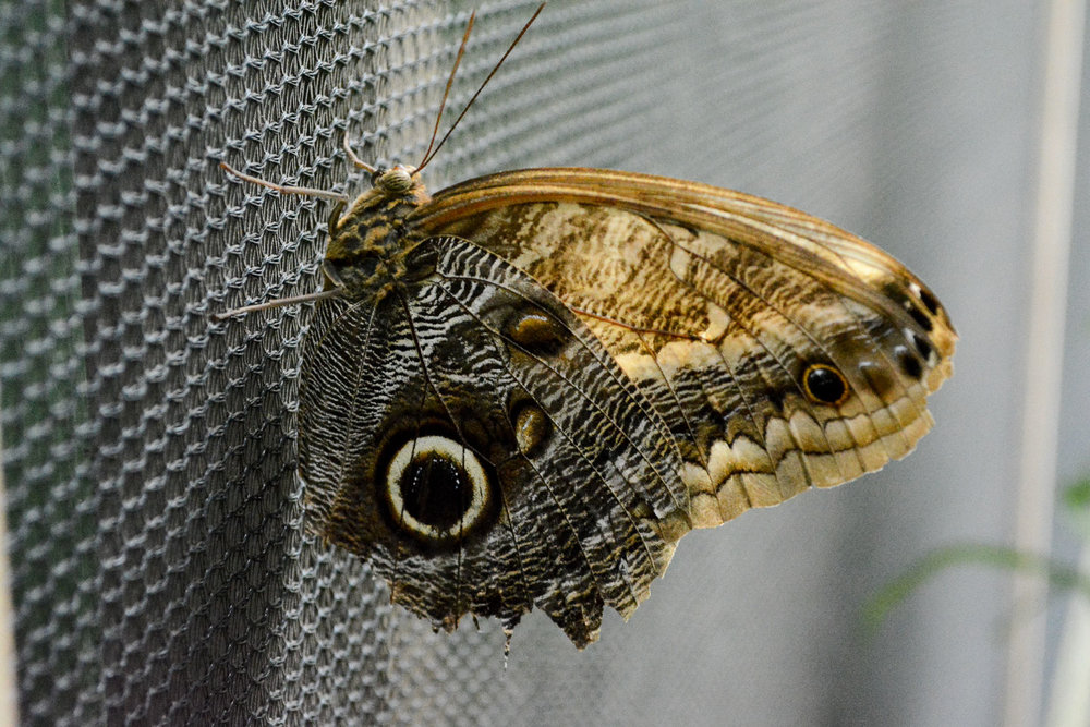 The owl butterfly likes to eat fermented fruit, but then gets drunk from it so avoids flying for a while. When they are forced to fly they hilariously run into things as the drunkenly navigate their world