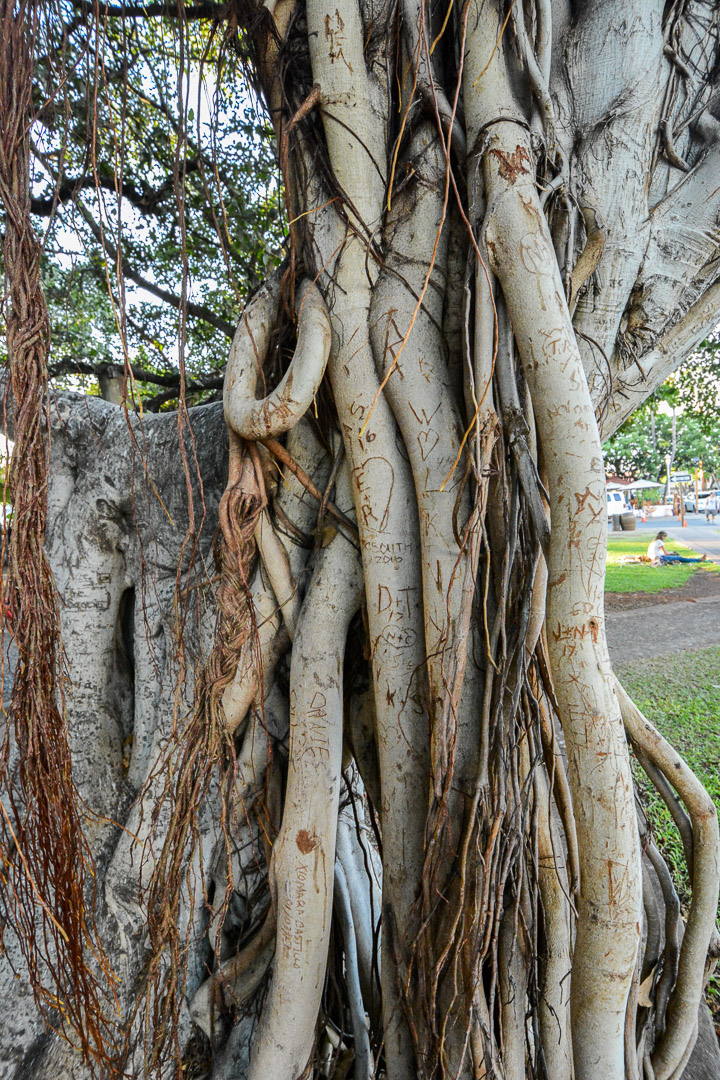 """Close up of one of the branches that grew a """"trunk"""" to support its branch"""