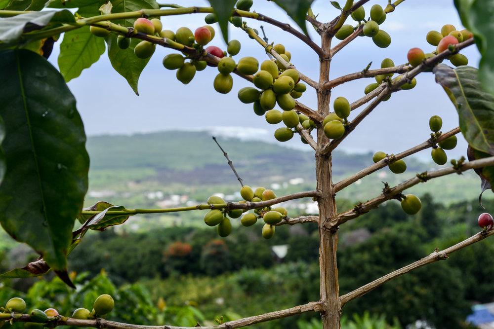 Coffee Plants in Kona
