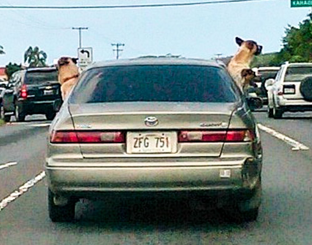 While driving around we spotted this car. All 3 dogs had to see what was going on outside!