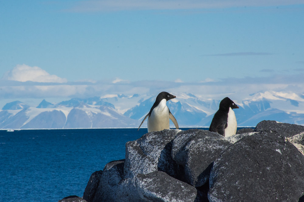 penguins_cape_royds_open_water_royal_society-HR.jpg