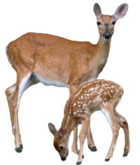 Transparent-Deer-With-Baby-Deer-PNG.png