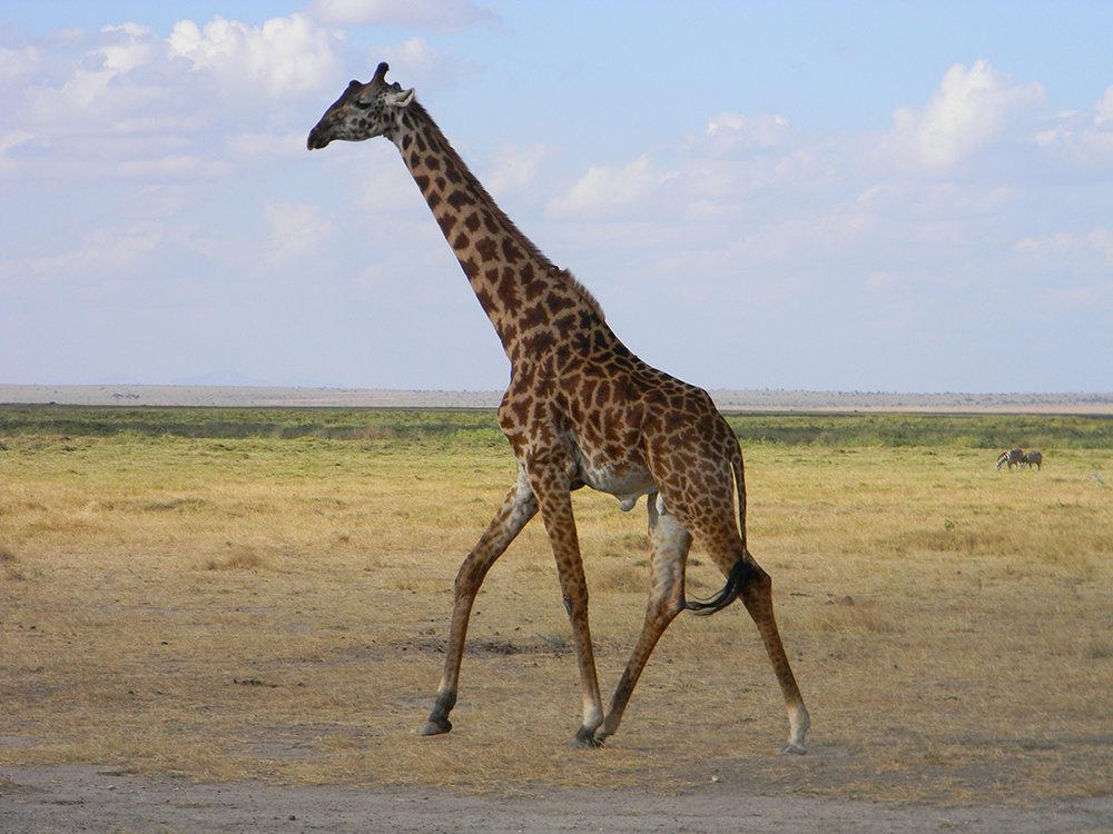 4.giraffe-amboseli.jpg