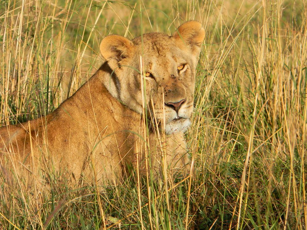 8.lioness.jpg