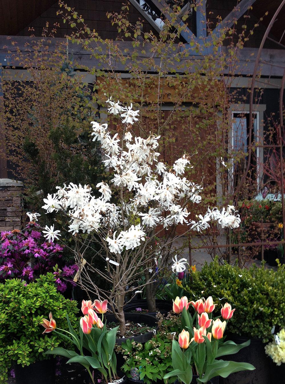 reduced pc spring nursery plants magnolia blooms gardens color.jpg